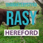charakterystyka rasy hereford