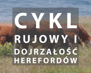 Cykl rujowy hereford