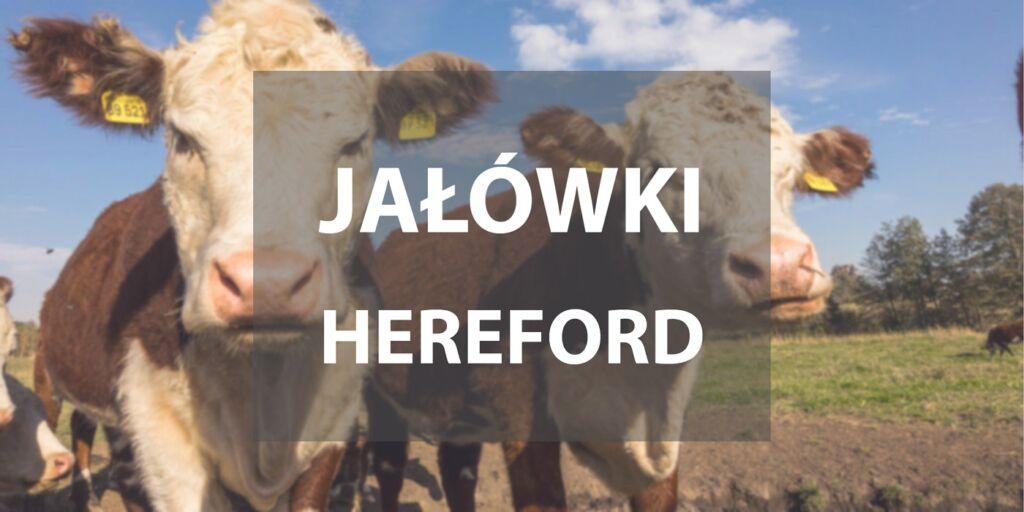 Jałówki hereford