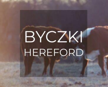 Byczki hereford